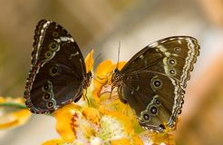 Butterflies. Two wonderful butterflies stock image