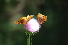 Free Butterflies Stock Images - 96089754