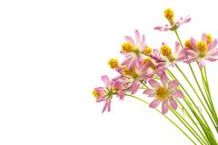 Butterflies above flowers White background. Studio shooting Cosmos caudatus is an annual plant that has pipe trunks with longitudinal lines. The height can royalty free stock images