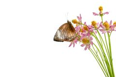 Butterflies above flowers White background. Studio shooting Cosmos caudatus is an annual plant that has pipe trunks with longitudinal lines. The height can stock image
