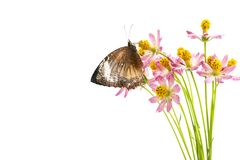 Butterflies above flowers White background. Studio shooting Cosmos caudatus is an annual plant that has pipe trunks with longitudinal lines. The height can stock photography