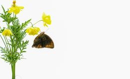 Butterflies above flowers White background. Studio shooting Cosmos caudatus is an annual plant that has pipe trunks with longitudinal lines. The height can royalty free stock image
