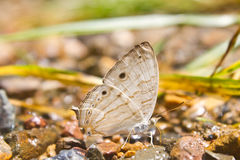 Butterflies are absorption minerals on the ground. In forest royalty free stock image