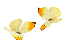 Butterflies (Anteos Menippe). Close up shot of flying butterflies (Anteos Menippe). Isolated on white stock image