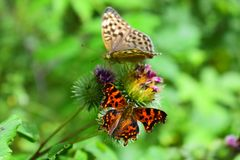Butterflies are attracted to nectar of flowers. The Breasts of a butterfly having a three-segment structure. The front part is much smaller than the middle and royalty free stock photography