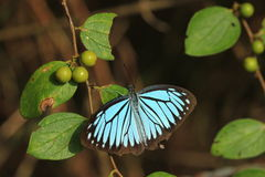 Butterflies. Beautiful blue butterfly of Thailand Royalty Free Stock Image