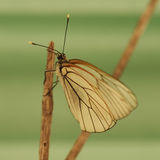 Butterflies Belyanko lat. Pieridae Royalty Free Stock Photography