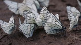 Butterflies. Black-veined White (Aporia crataegi) Stock Photos