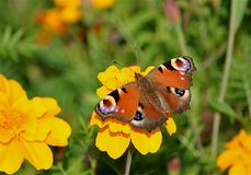 Butterflies on a blooming plant Stock Image