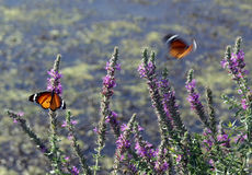 Butterflies and blossoming rosemary. Butterflies sit and flit on a bush of blossoming rosemary Royalty Free Stock Photography