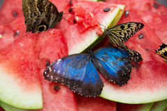 Butterflies with blue wings on watermelon closeup. Stock Photo