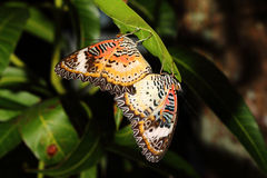 Butterflies are breeding on nature background Royalty Free Stock Photo