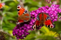 Butterflies on a buddleia purple flower royalty free stock photo
