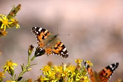 Butterflies on a bush stock images