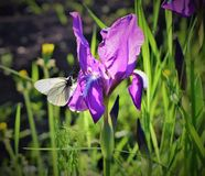 White butterfly on a purple iris. Butterflies, butterfly, cabbage, white, feeding, food, insect, insects, lavendar, nectar, pale, plant, plants, small, spot royalty free stock images