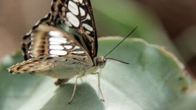 Butterflies. Butterfly drinking nectar on white flowers. Close up butterfly stock video footage