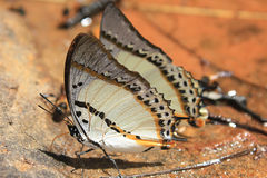 Butterflies. Butterfly sunlight In Phetchabun, Thailand Stock Photography