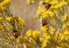 Butterflies on Chamisa. Orange and black butterflies on yellow chamisa flowers in the southwest royalty free stock photo