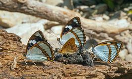 Butterflies 4 Stock Photos