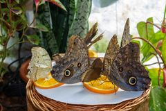 Butterfly owls Caligo eurilochus sit on a plate and eat an orange cut into slices. Butterflies close-up with large wings in the botanical garden in Kaliningrad stock photo