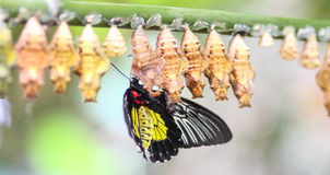 Butterflies and cocoons Stock Images