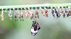 Butterflies and cocoons Royalty Free Stock Photo