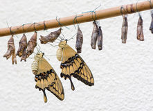 Butterflies and Cocoons Stock Image