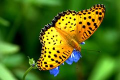 Butterflies. It is collect pollen stock image