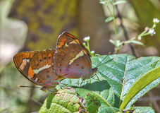 butterflies in mating Stock Image