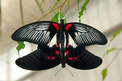 Butterflies copulating. Two exotic butterflies copulating Royalty Free Stock Image