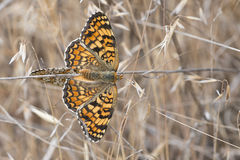 Butterflies copulating. Royalty Free Stock Photo
