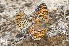 Butterflies copulating. Royalty Free Stock Photos