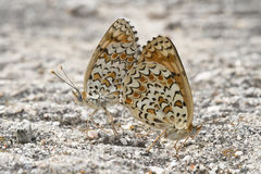 Butterflies copulating. Royalty Free Stock Images