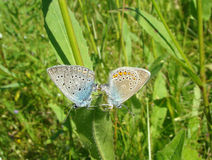 Butterflies copulating.Amanda's Blue  (Polyommatus amandus) Royalty Free Stock Photo