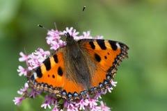 Butterflies in cottage garden stock photography