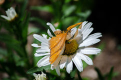 Butterflies and daisies royalty free stock photo