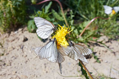 Butterflies on dandelion. On summer day stock images