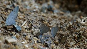 Butterflies drinking mineral from soil. Butterflies are searching and drinking mineral from soil and decay leaf stock footage