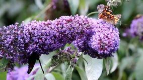 Butterflies drinking nectar upon pink Buddleja flower stock footage