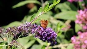 Butterflies drinking nectar in pink Buddleja flower stock footage