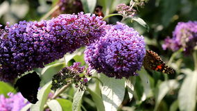 Butterflies drinking nectar at pink Buddleja flower stock footage