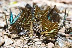 Butterflies eat salt marsh Stock Photos
