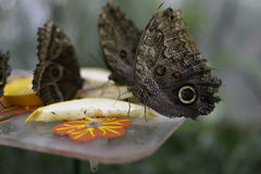 Butterflies eating fruit. A picture of few butterflies eating fruit stock image