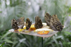 Butterflies eating fruit. A picture of few butterflies eating fruit stock photography