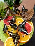 Butterflies eating. Fruits stock photography