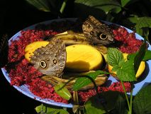 Butterflies Eating Fruits Stock Photos