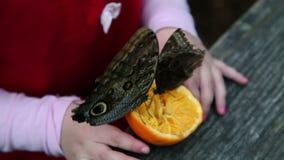 Butterflies eating an orange stock video
