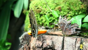 Butterflies eating an orange stock footage