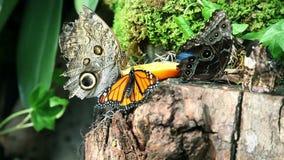 Butterflies eating an orange stock video footage