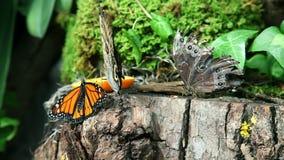 Butterflies eating an orange on a stump stock video